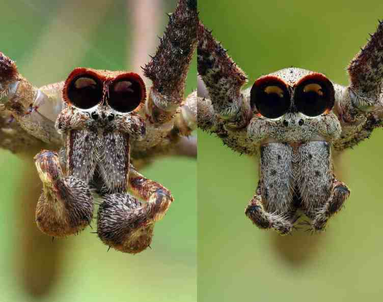 Male and Female juvenile Net Casting spiders closeup eyes fangs faces