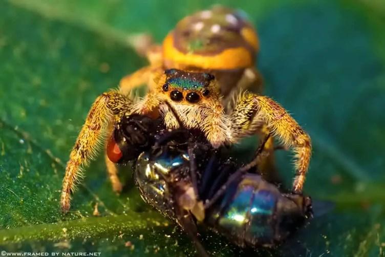 Paraphidippus aurantius closeup jumping spider colorful