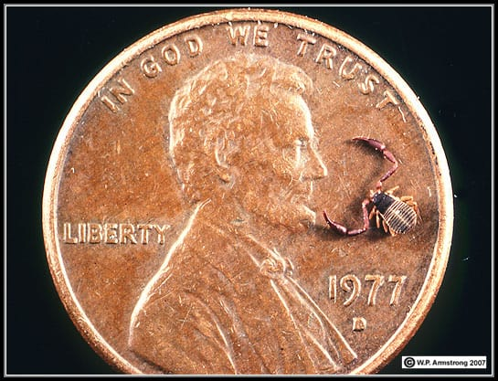 tiny crab spider with coin comparison size