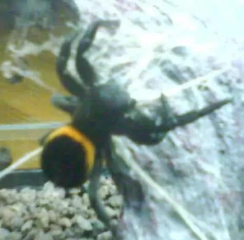 Female Ladybird Spider yellow black