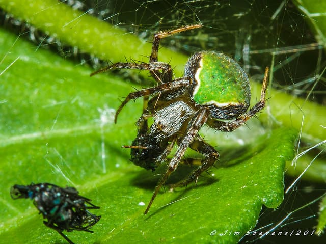Tropical Orb Weaver 10 green gray