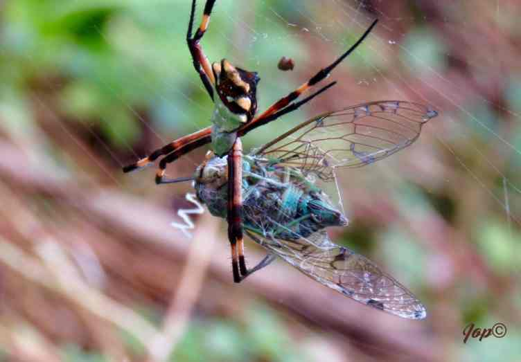 Silver Argiope with prey