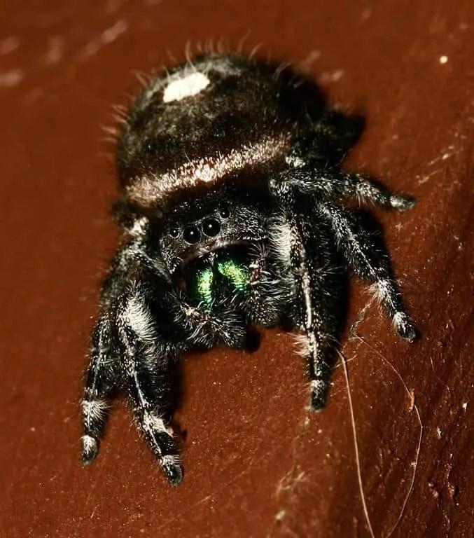 Daring Jumping Spider phidippus audax closeup