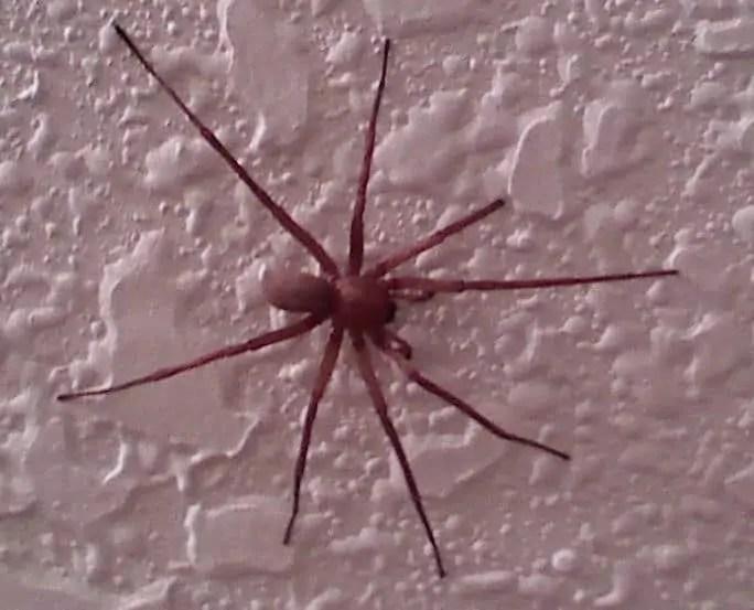 Titiosis Spider