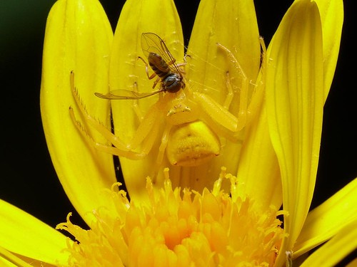 flower Crab Spider misumena vatia yellow in flower