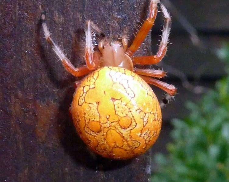Marbled Orb Weaver araneus marmoreus orange