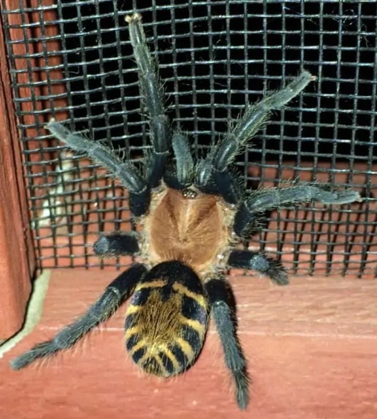 Tarantula brown black yellow