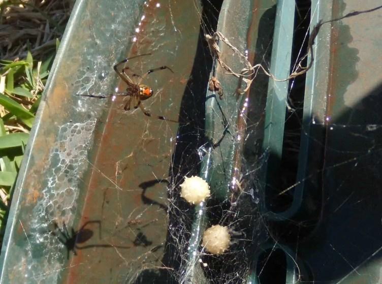 Brown Widow with egg sacs