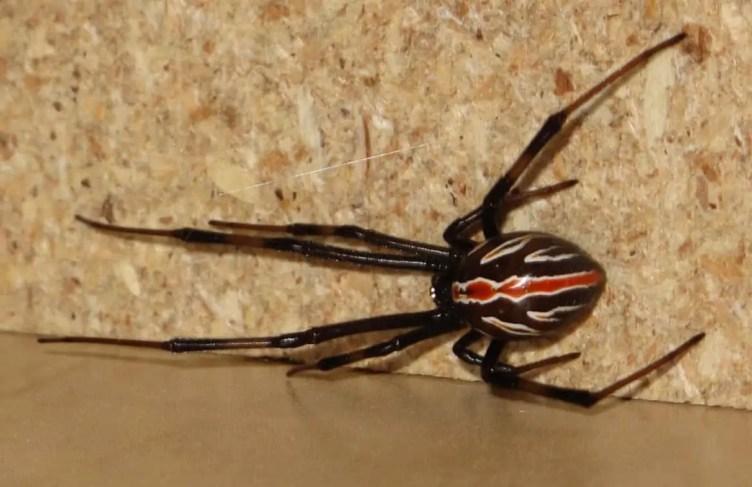 Black Widow female juvenile