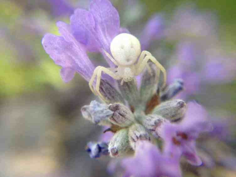 White Crab Spider in flower