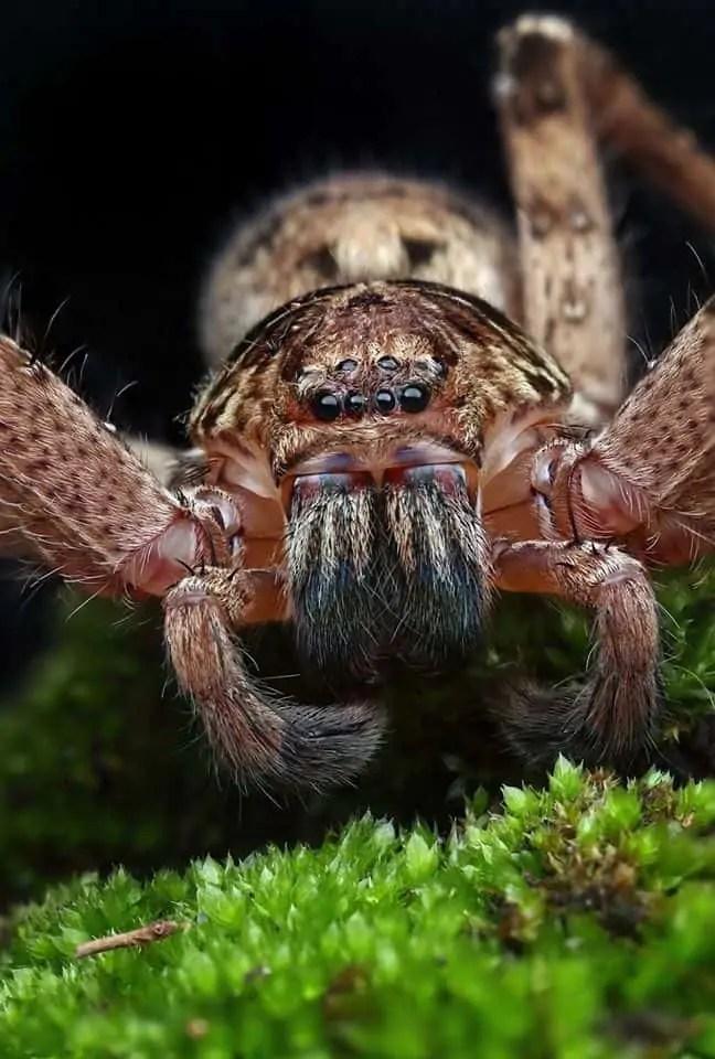 Huntsman spider portrait – Central coast