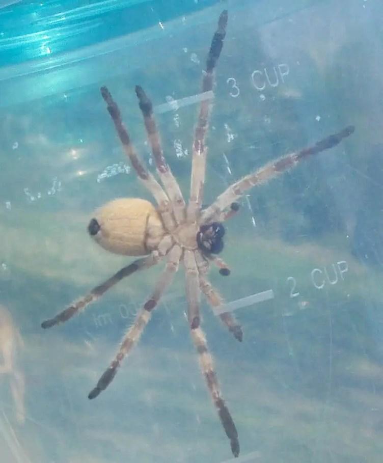 Huntsman Spider neosparassus