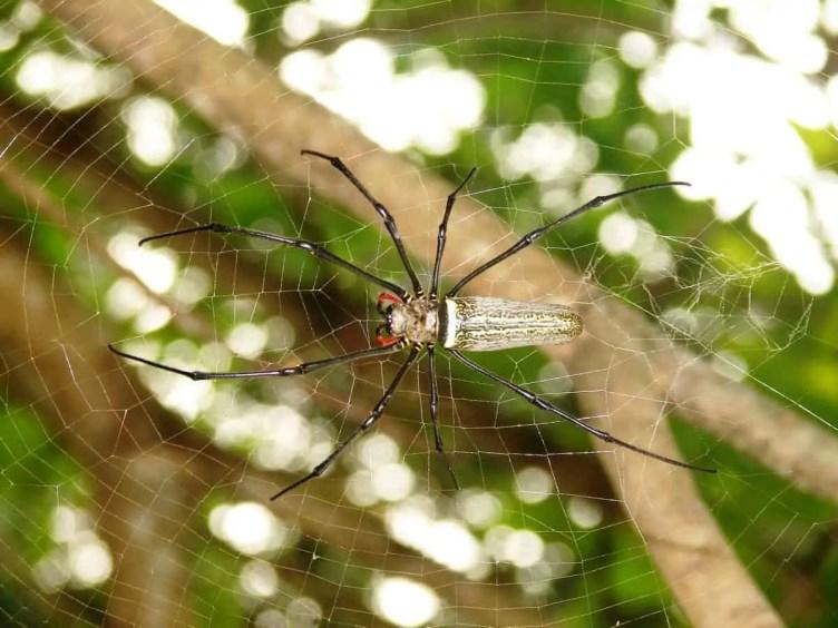 Nephila sp. Brunei
