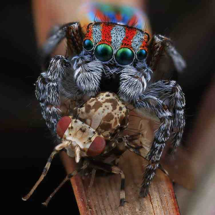 Jumping Spider with beetle