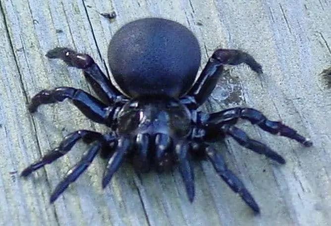 Mouse Spider australia