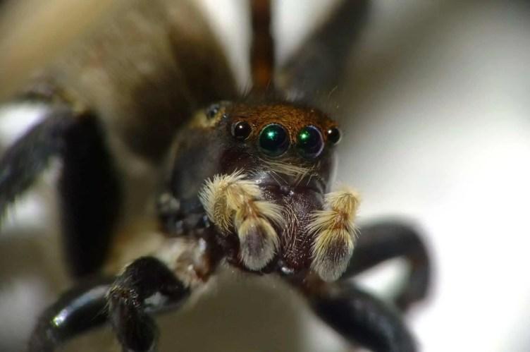 Jumping Spider eyes closeup