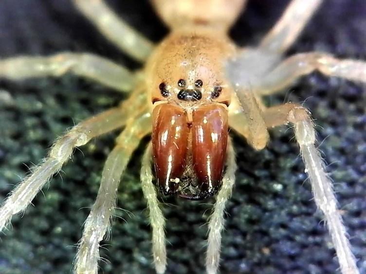 Long Legged Sac Spider eyes closeup