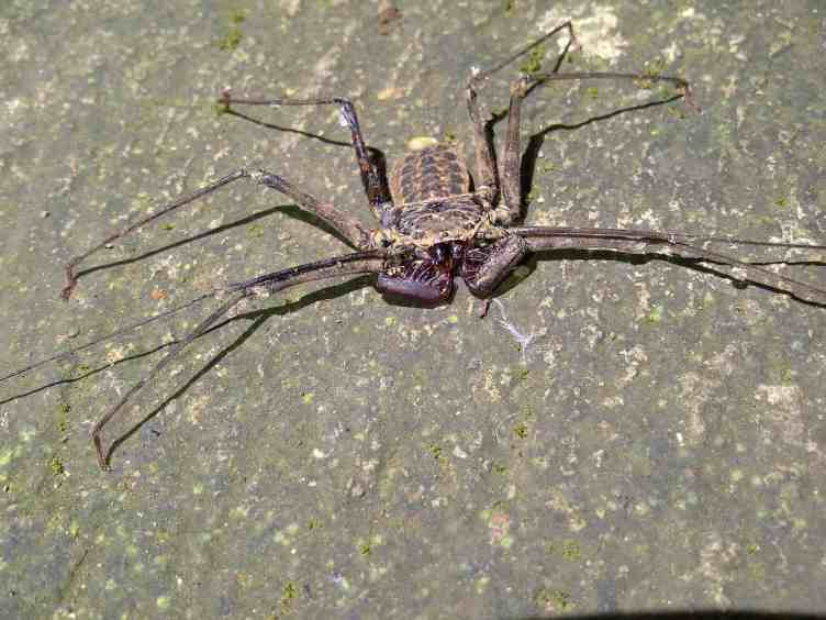 Tailless Whip Scorpion on ground