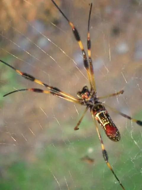 Nephila Clavipes USA banana spider