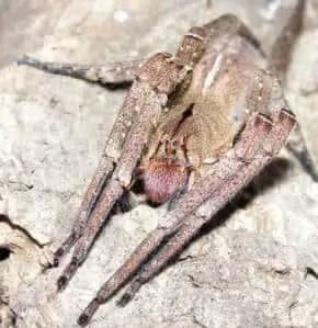 brazilian wanderin spider