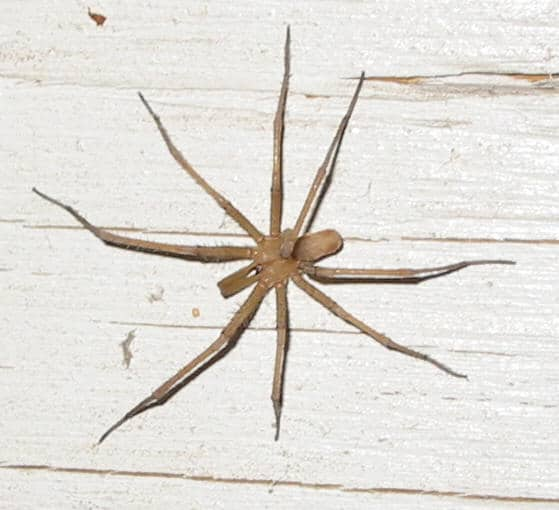 Male Southern House Spider