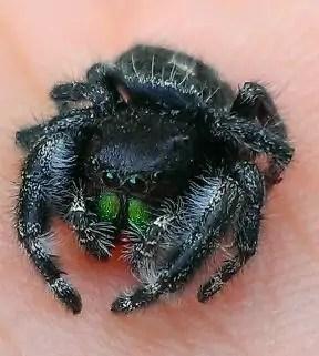 Daring Jumping Spider eyes