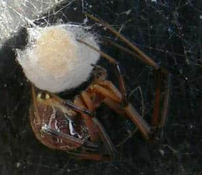 Brown Button Spider with egg sac