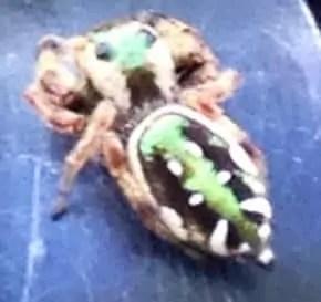 Paraphidippus aurantius green black