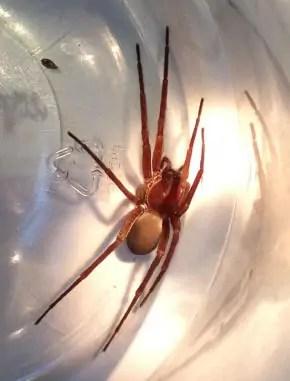 Tengellid Spider