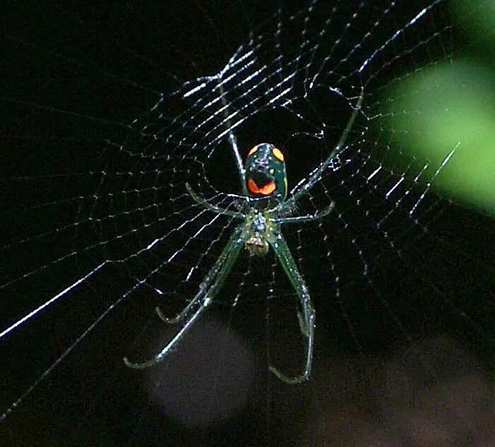 Venusta Orchard Spider 28 from below
