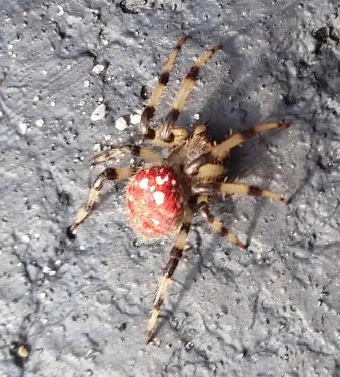 Shamrock Orb Weaver red banded legs black and orange