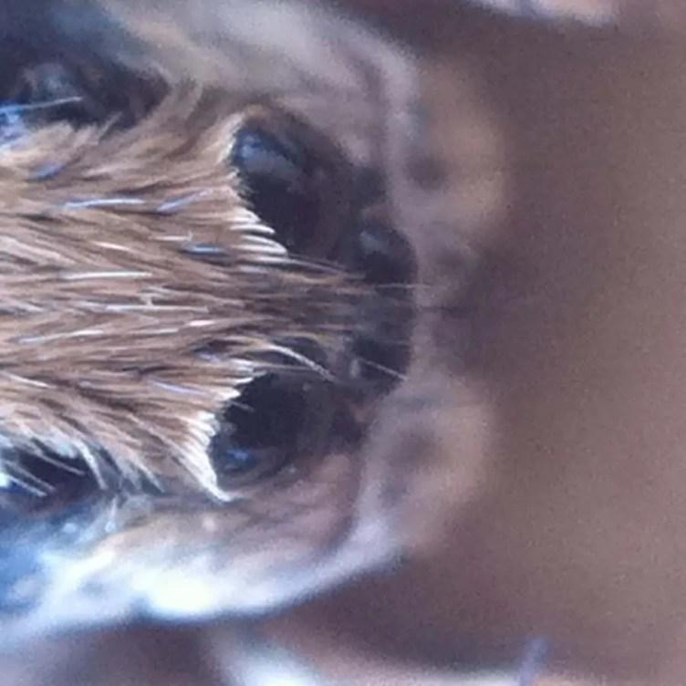 Eyes of Ogre Faced Spider