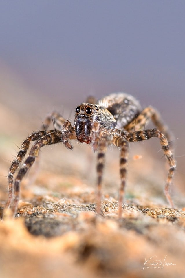 Thin-legged Wolf Spider by Kevin Wiener.