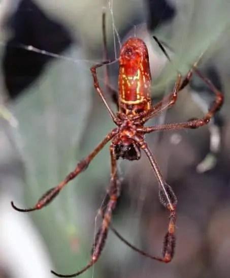 Nephila Clavipes USA