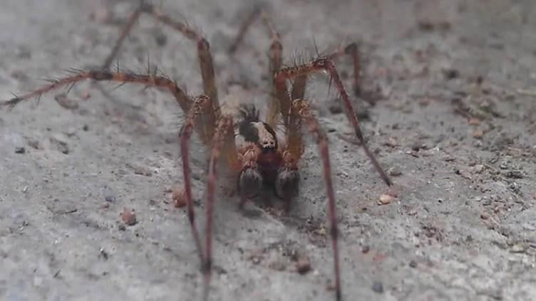 Male Grass Spider