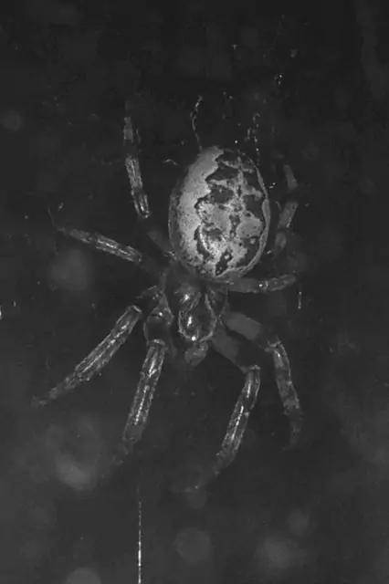 Furrow Spider