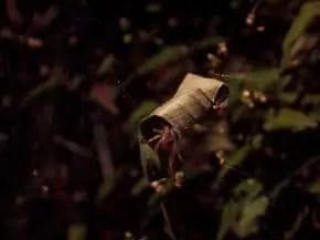 Leaf Curling Spider