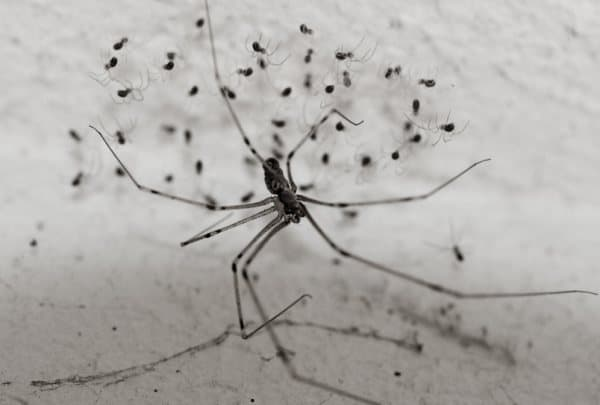 daddy longlegs cellar spider Pholcidae spider with spiderlings