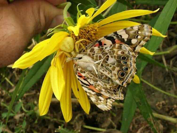 5. Yellow Crab Spider with butterfly misumena