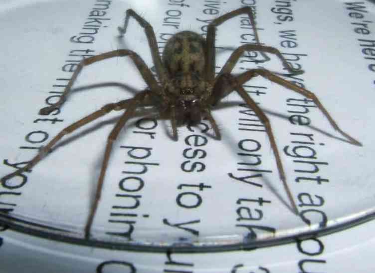 Hobo spider eratigena agrestis size