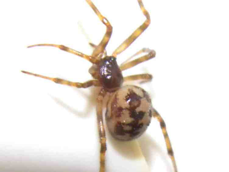 Steatoda Triangulosa closeup