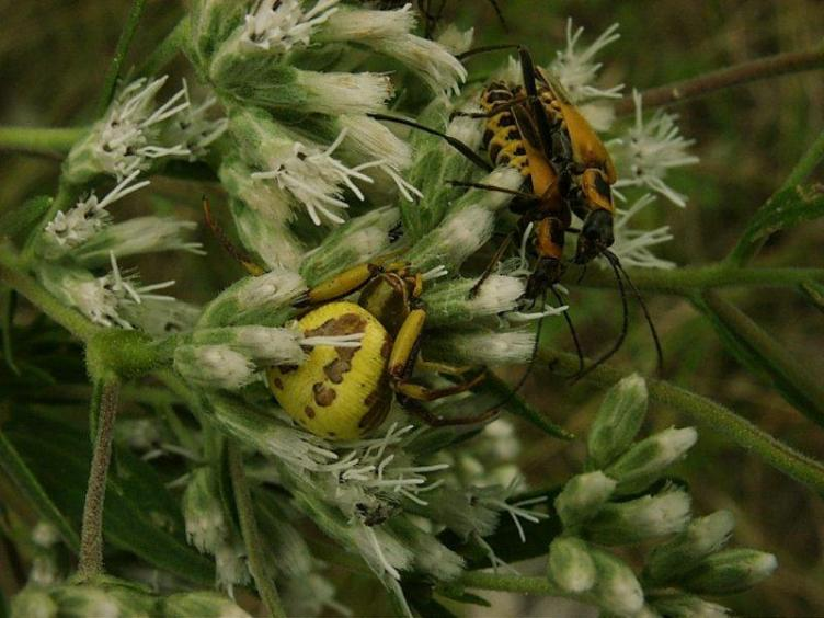 7. Yellow crab spider with prey