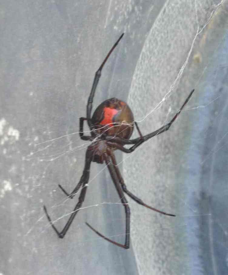 Black Widow red hourglass shape