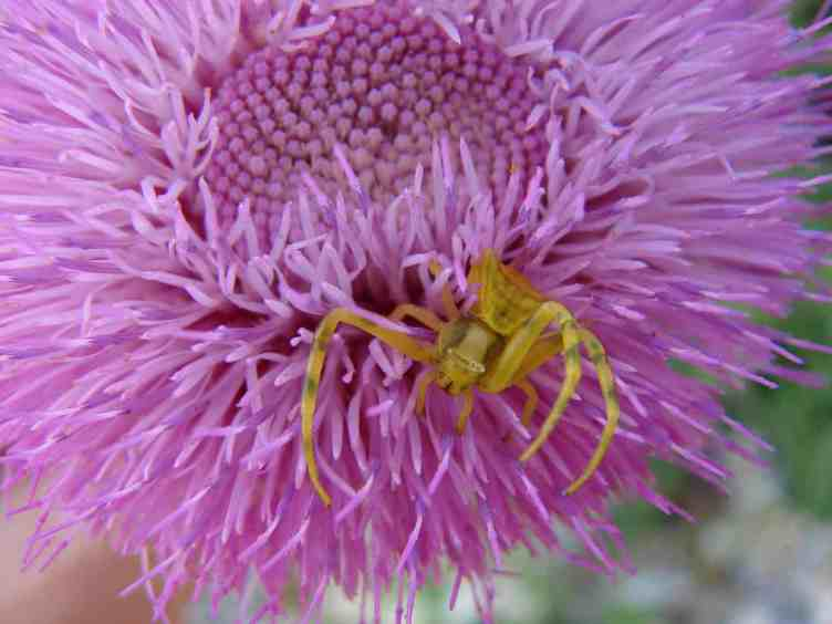 Yellow Crab Spider in flower