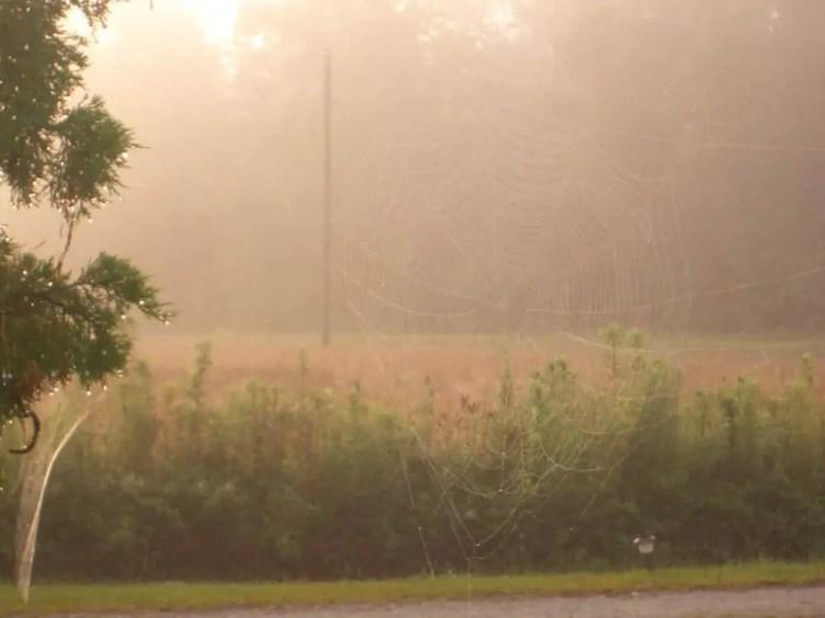 Garden Orb Weaver web