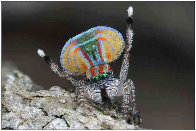 Male Peacock Jumping Spider