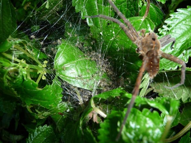 Dolomedes triton with spiderlings