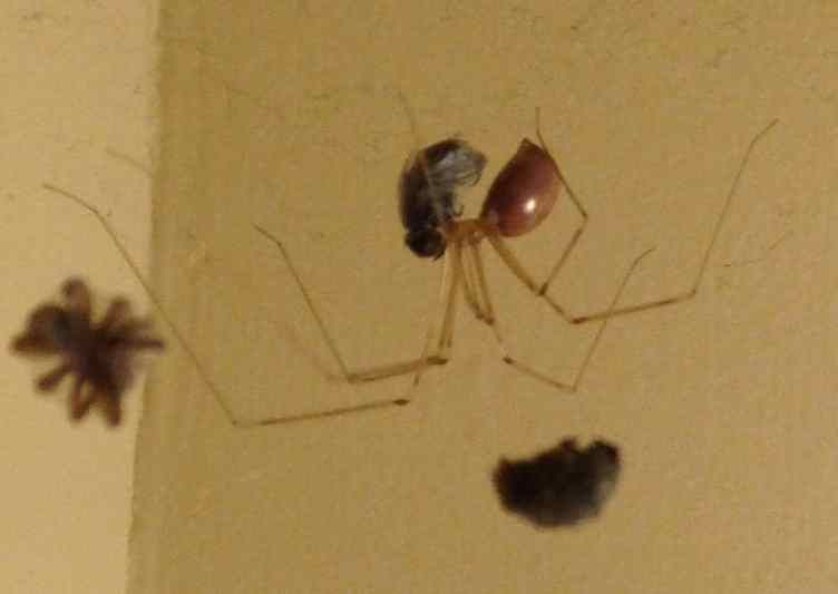 daddy longlegs cellar spider Pholcidae spider with fly