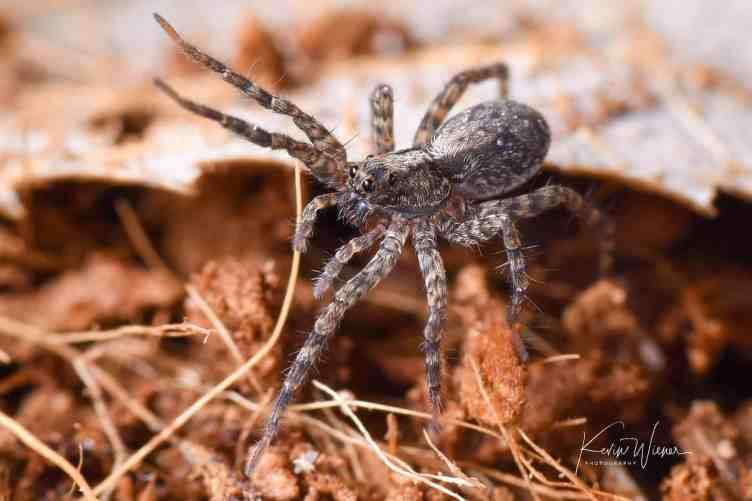 Thin-legged Wolf Spider waving 2 legs by