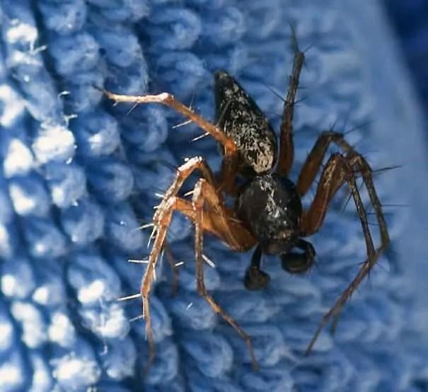 Lynx Spider black